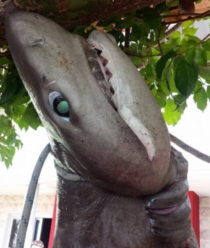 акула в рафаиловичах