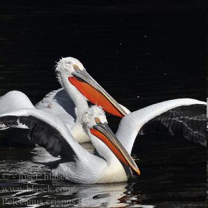 белый кудрявый пеликан